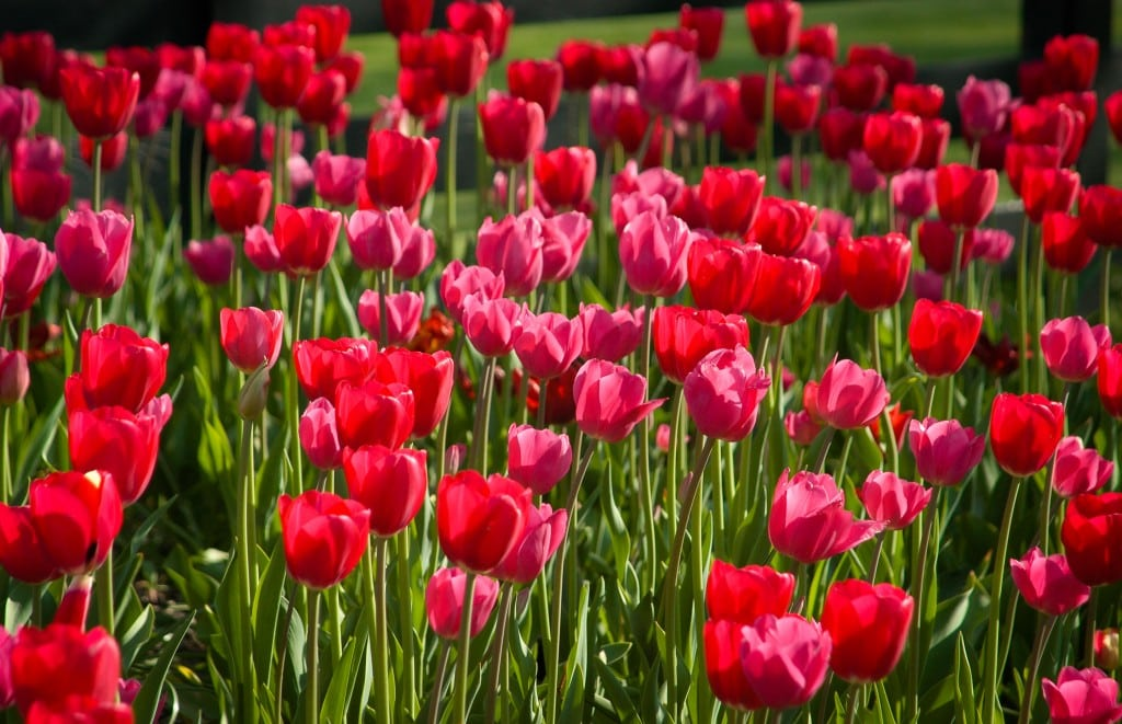 Stanwycks Photography, Beautiful Red Tulips